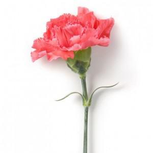 Koop roze anjer tips voor moederdag zonder moeder